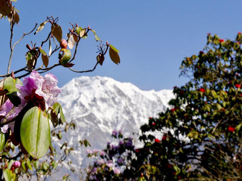 Im Frühjahr, zur Zeit der Rhododendron-Blüte