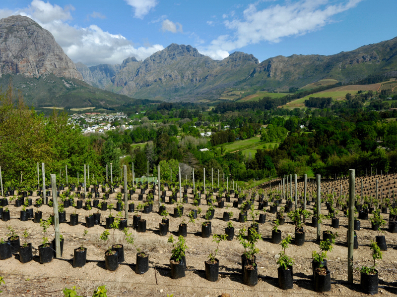 Im milden mediterranen Klima der Kap Provinzen reifen die Reben für den berühmten Kapwein. Ein triftiger Grund für eine der zahlreichen Weingüter.