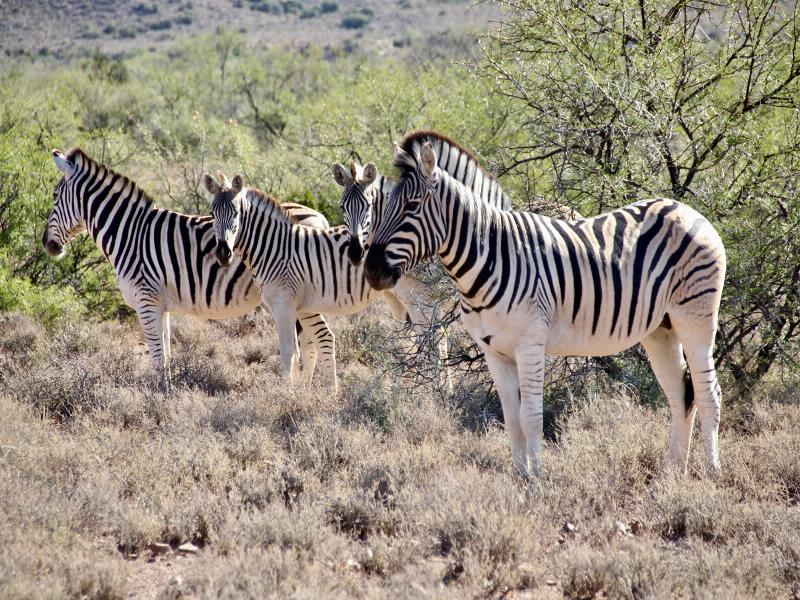 Auf der Karoo Garden Route kommt auch das Safari Feeling nicht zu kurz. Zebras im Nationalpark Karoo