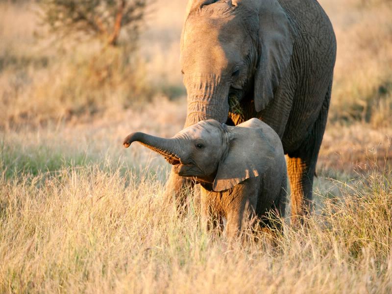 Keine Angst vor Wilderern: In den Nationalparks und Game Reserves Südafrikas, die auf dieser Tour besucht werden, sind Elefanten konsequent geschützt.