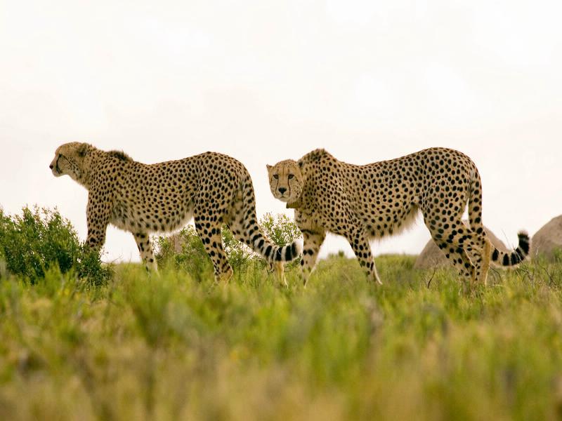 Keiner ist schneller: Geoparden sind die schnellsten Landtiere der Erde und erreichen im Sprint bis zu 120 km/h