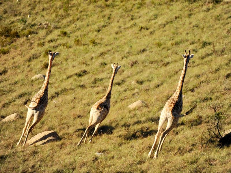 Giraffen mit Schieflage: Dieser beeindruckende Schnappschuss gelang während einer Safari auf unserer Garden Big Five Route.