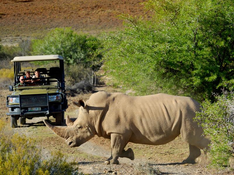 Selbst das von Aussterben bedrohte Breitmaulnashorn lässt sich in den Nationalparks und Game Reserves von Südafrika sehr gut beobachten.