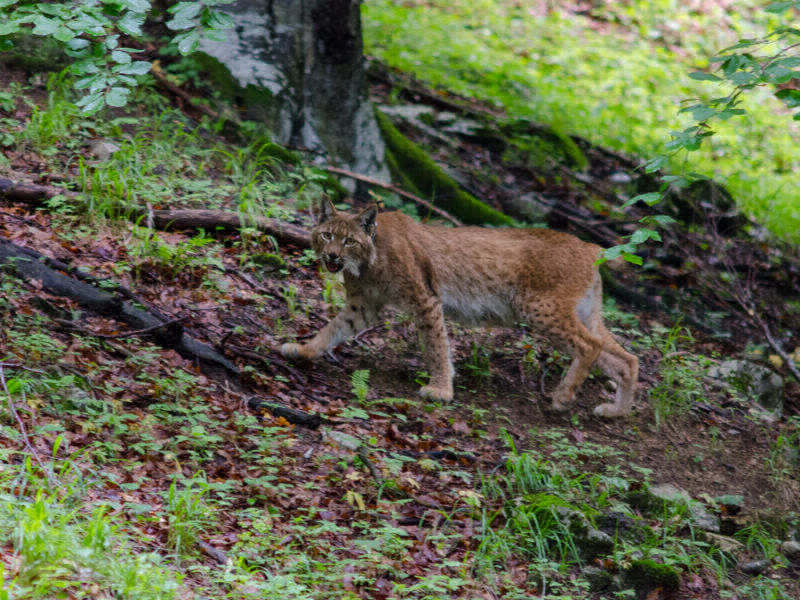 Hiking in the presence of the wonders of nature: The lynx, perceptible but rarely visible, is the namesake of the trail.