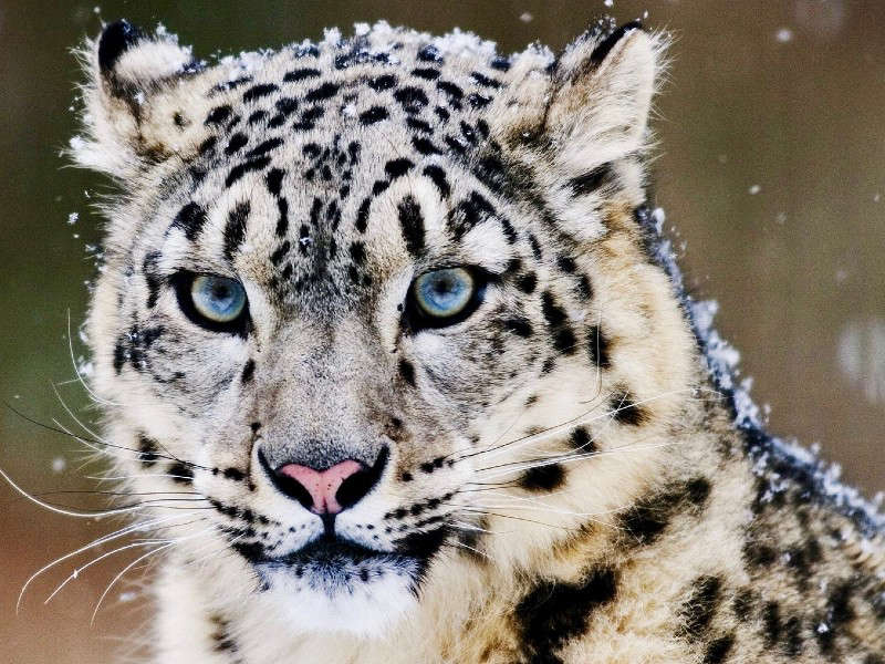 What a beauty! About 300 Snow Leopards are known to inhabit the Nepalese Himalayas. The Snow Leopard Trail project is dedicated to their protection. © Snow Leopard Conservancy